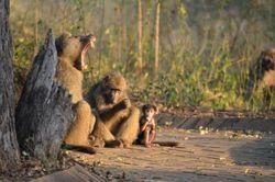 Baboonfamily