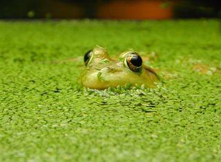 Frog-duckweed