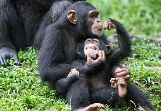 Zoochimpanzee-family