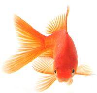 Dontgiveshitgoldfish