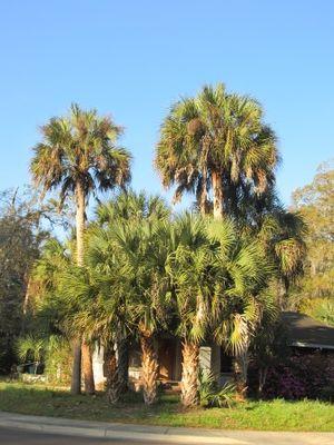 Treesmystreetpalms