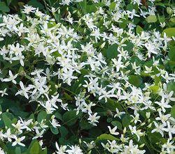 Gardenclematiswhiteflowerfarm