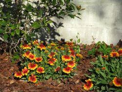 Gardengaillardiacloseup