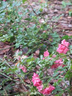 Gardendriftroses