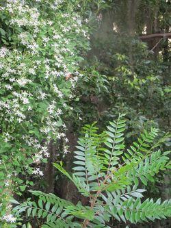 Gardenclematis