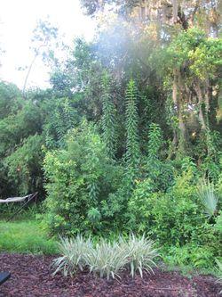 Gardenweirdphallicplant