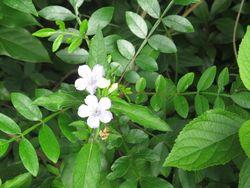 Gardenmay2015petunia
