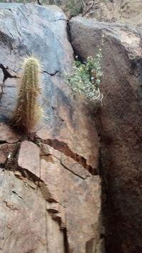 Canyoncactus2