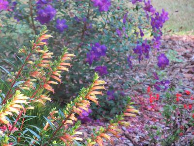 Gardenhalloweenlipstickplant