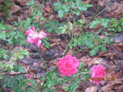 Gardenmay2015driftrose