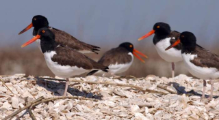 Cuteoystercatchers